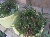 ブルーベリーの収穫は終わりです。 - 柴まみママの大多喜便り