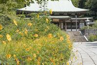 キバナコスモスに会いに龍宝寺へ - エーデルワイスブログ