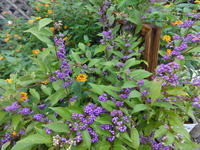紫の実が美しい - だんご虫の花