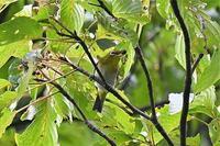 メジロ - そらと林と鳥