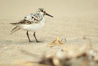ミユビシギ - 北の野鳥たち