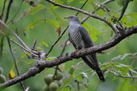 渡り途中のツツドリ - 『彩の国ピンボケ野鳥写真館』
