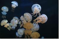 タコクラゲ - ハチミツの海を渡る風の音