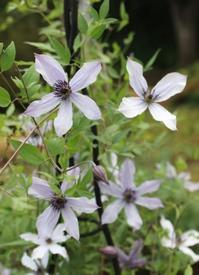 流星とシュウメイギクのチラリ咲き - ペコリの庭と時々パン
