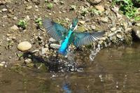 N川のカワセミ、9月の様々な姿。 - 小川の野鳥達
