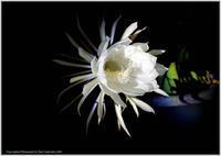 庭の花-36月下美人がまた咲いた - 野鳥の素顔 <野鳥と日々の出来事>