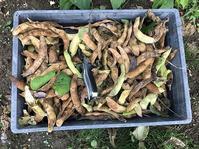 野菜作り・・花豆の収穫、長雨はご用心。 - あいやばばライフ