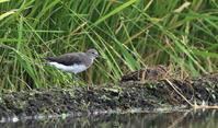 休耕田のシギ4種(クサシギ・タシギ・タカブシギ・ハマシギ) - 私の鳥撮り散歩