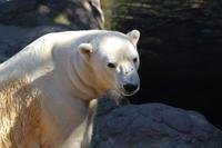 ズーラシアの動物たち~ホッキョクグマ「ジャンブイ」とテングザルの給餌( November 2019) - 続々・動物園ありマス。