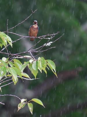 雨のカワセミ - まほろば 写真俳句