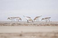 # トウネンたちと一羽のミユビシギその① - TORI たどり (小鳥、わんこ、写真 ♥)