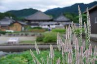 明日香村飛鳥飛鳥寺ケイトウコスモス - ぶらり記録 2:奈良・大阪・・・