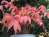 ハゼノキの紅葉 - しらこばとWeblog