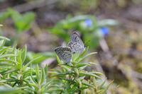 秋のクロツバメシジミ2020 - Lycaenidaeの蝶鳥撮影日記