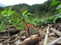 ウラギンヒョウモン覚醒 - 秩父の蝶