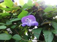 蕾はカタツムリ - だんご虫の花