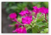 オシロイバナ - 花ありて 日々