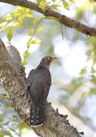 ツツドリ餌探し - 気まぐれ野鳥写真