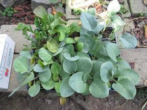 2020年9月21日冬野菜の苗を定植‥‥‥ - じゃこてんのつぶやき