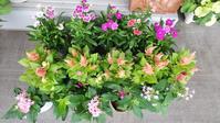ナデシコ、ペンタス、ケイトウの植え付けとハボタンの移植マンション花壇 - ニッキーののんびり気まま暮らし