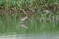 タカブシギ - ごっちの鳥日記