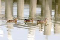 沼のシマアジ - 銀狐の鳥見