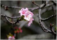 初秋に咲いている河津桜 - 野鳥の素顔 <野鳥と日々の出来事>