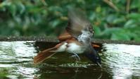 ちょうど4年ぶりのサンコウチョウ - Life with Birds 3