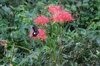 ■ヒガンバナ20.9.21 - 舞岡公園の自然2