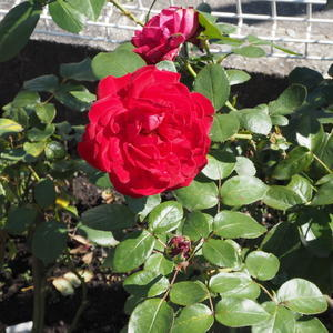 秋のバラ - sola og planta ハーブを育てながら