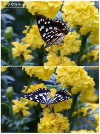 地元公園の秋の花と蝶たちほか - トドの野鳥日記