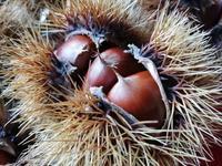 栗の季節 - al Ragu' 2012 fukusumumacidayori
