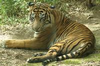 絶滅危惧種スマトラトラのラウトさん(横浜動物園ズーラシア) - 旅プラスの日記