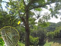メスグロヒョウモンの産卵 - 秩父の蝶