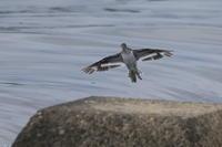 イソシギ大トリミング - 気まぐれ野鳥写真