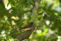サンコウチョウ09月22日 - 旧サンヨン野鳥撮影放浪記