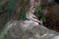 キビタキ、マミジロ⁉︎、ヤマガラ他@多摩市 - 青爺の野鳥日記