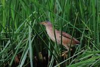 S沼のヨシゴイ - 銀狐の鳥見