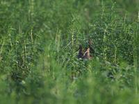 寂しい成果・・・オオジシギ?・コアオアシシギ。 - 鳥見んGOO!(とりみんぐー!)野鳥との出逢い