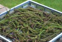 9/21紫蘇の実で佃煮の準備 - 「あなたに似た花。」