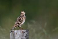 野原のヒバリさん - 鳥と共に日々是好日②
