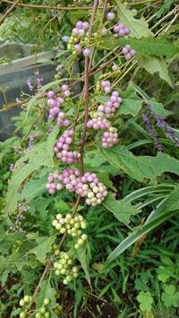 コムラサキのグラデーション - ウィズ(ゼロ)コロナのうちの庭の備忘録~Green's Garden~