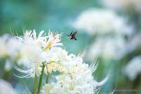 姫黒蜂雀【白花彼岸花とヒメクロホウジャク】 - kawanori-photo
