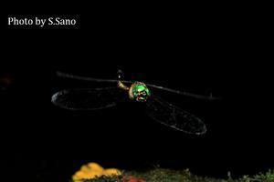 タカネトンボの行動を調査 - 海を歩くゲンゴロウ