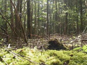 富士山の裾野の森 -