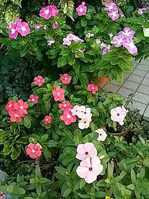 庭の花たち - hanasdiary.exblog.jp