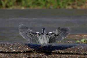 取水堰のササゴイ - T/Hの野鳥写真-Ⅲ