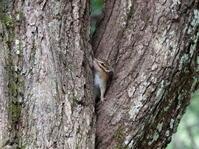 樹の股が好きなシマリスさん。 - ヒロムシ君のお散歩日記