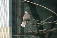 動物園のシラコバト - 銀狐の鳥見