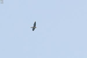 会いたかった野鳥が思わぬ所で ハリオアマツバメ - 野鳥公園